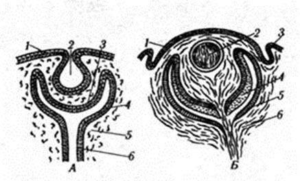 Эмбриогенез глазного яблока