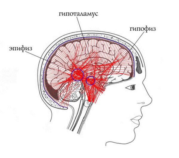 Пересечения нормалей внутренней поверхности черепа