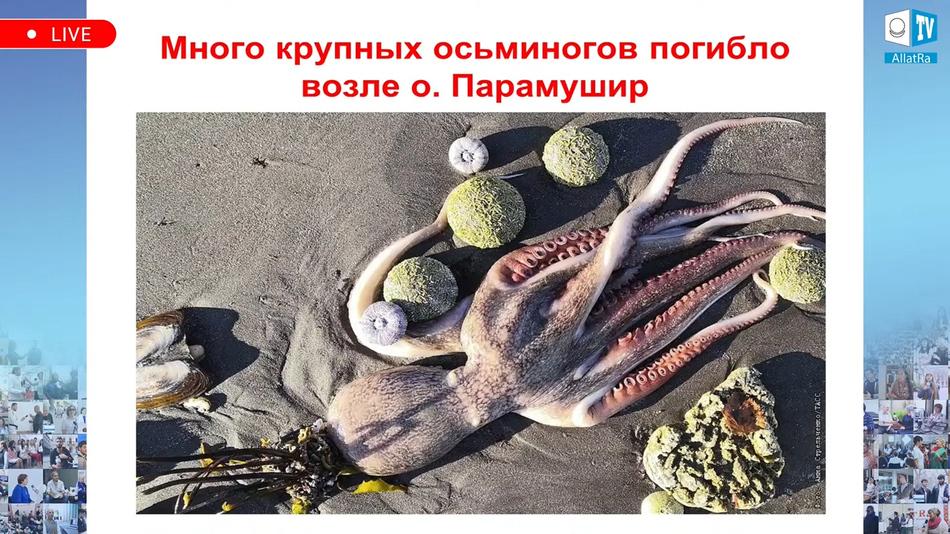 гибель осьминогов