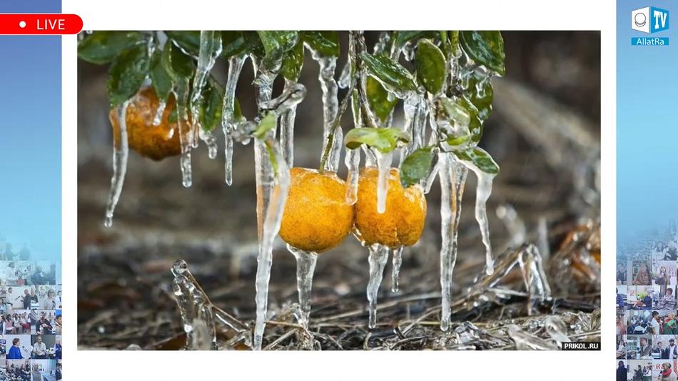 мандарины спасают от морозов