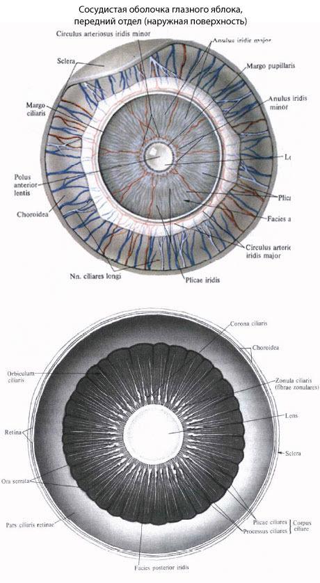 Сосудистая оболочка глаза