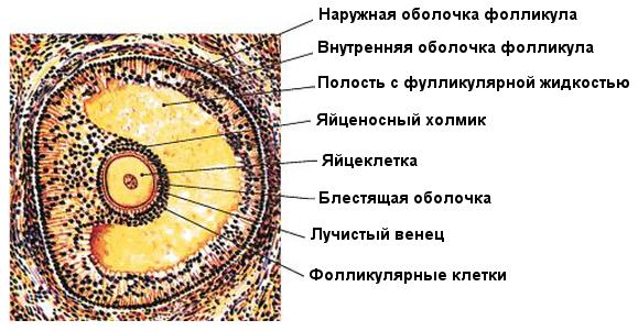 Строение фолликула яичника
