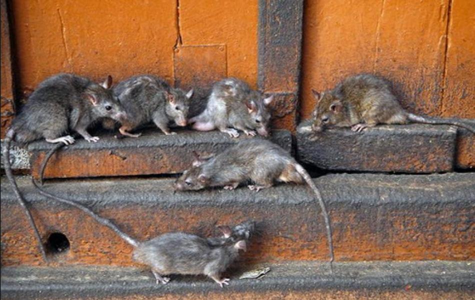 Нашествие крыс в Италии 04 марта 2016