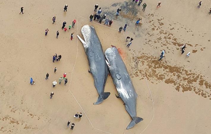 Кашалоты выбросились на берег в Великобритании 24 января 2016