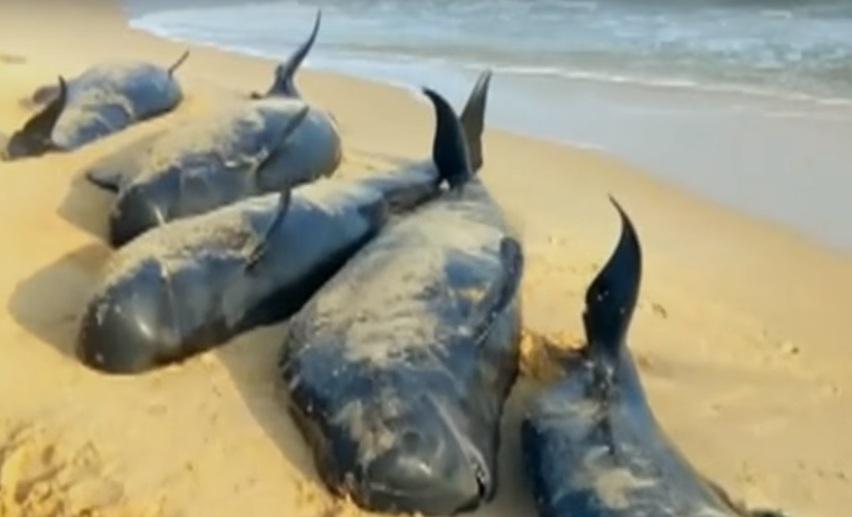 Дельфины выбросились на берег в Индии 12 января 2016